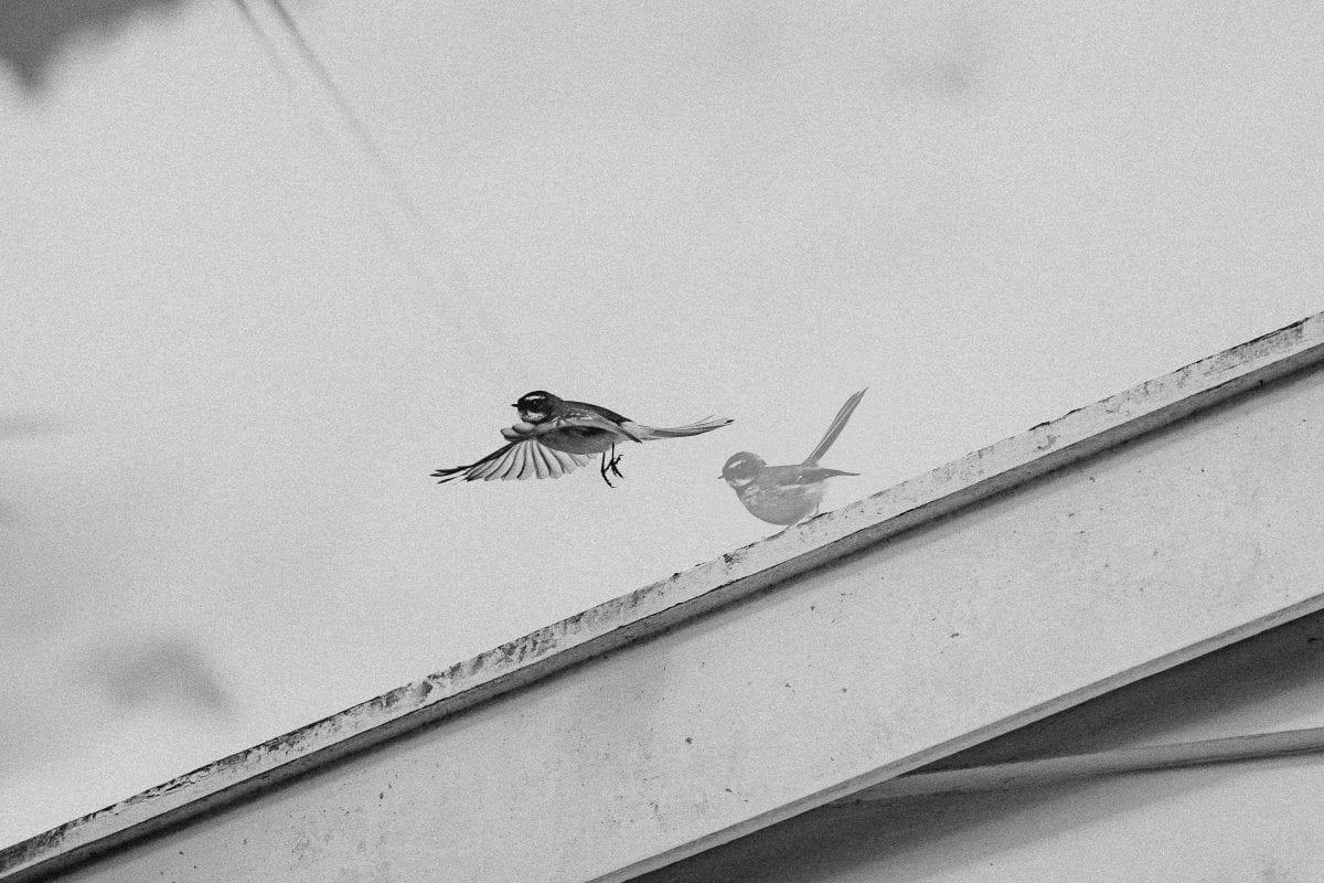 New Zealand fantail piwakawaka jumps into flight