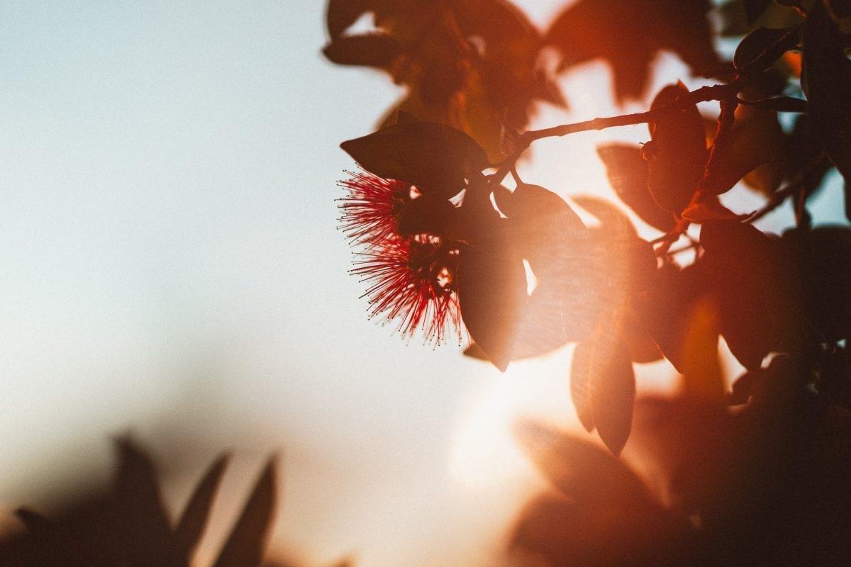 Golden evening sunlight on a crimson Pohutukawa flower